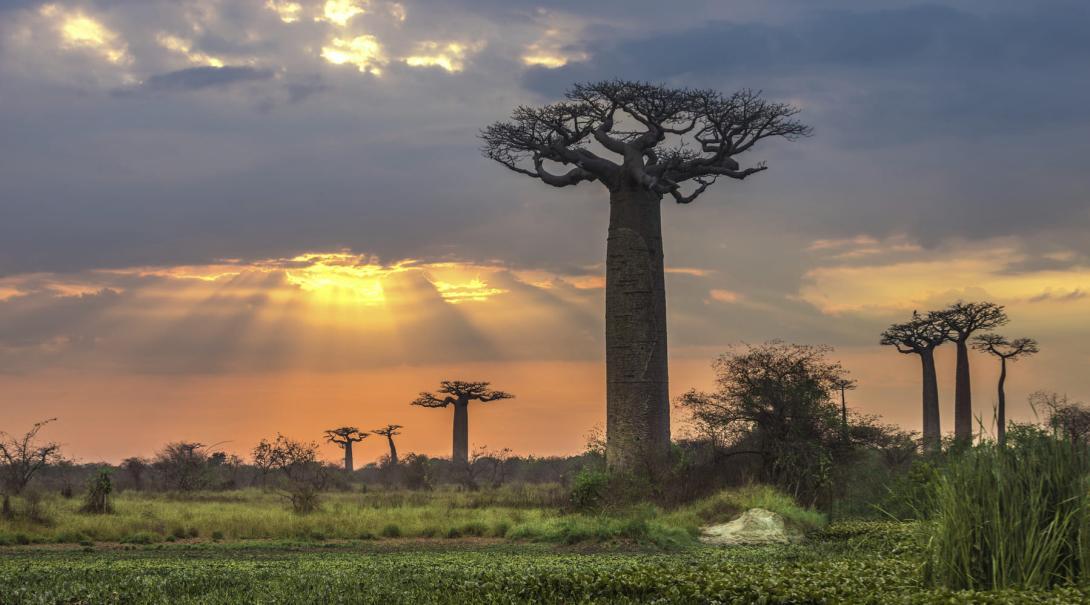 Mäktiga baobabträd i ljuset av en solnedgång taget under en volontärresa till Madagaskar, Afrika.